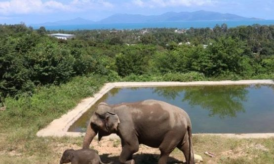 Meliá Koh Samui Comes to the Rescue to Feed Elephants During Tough Times